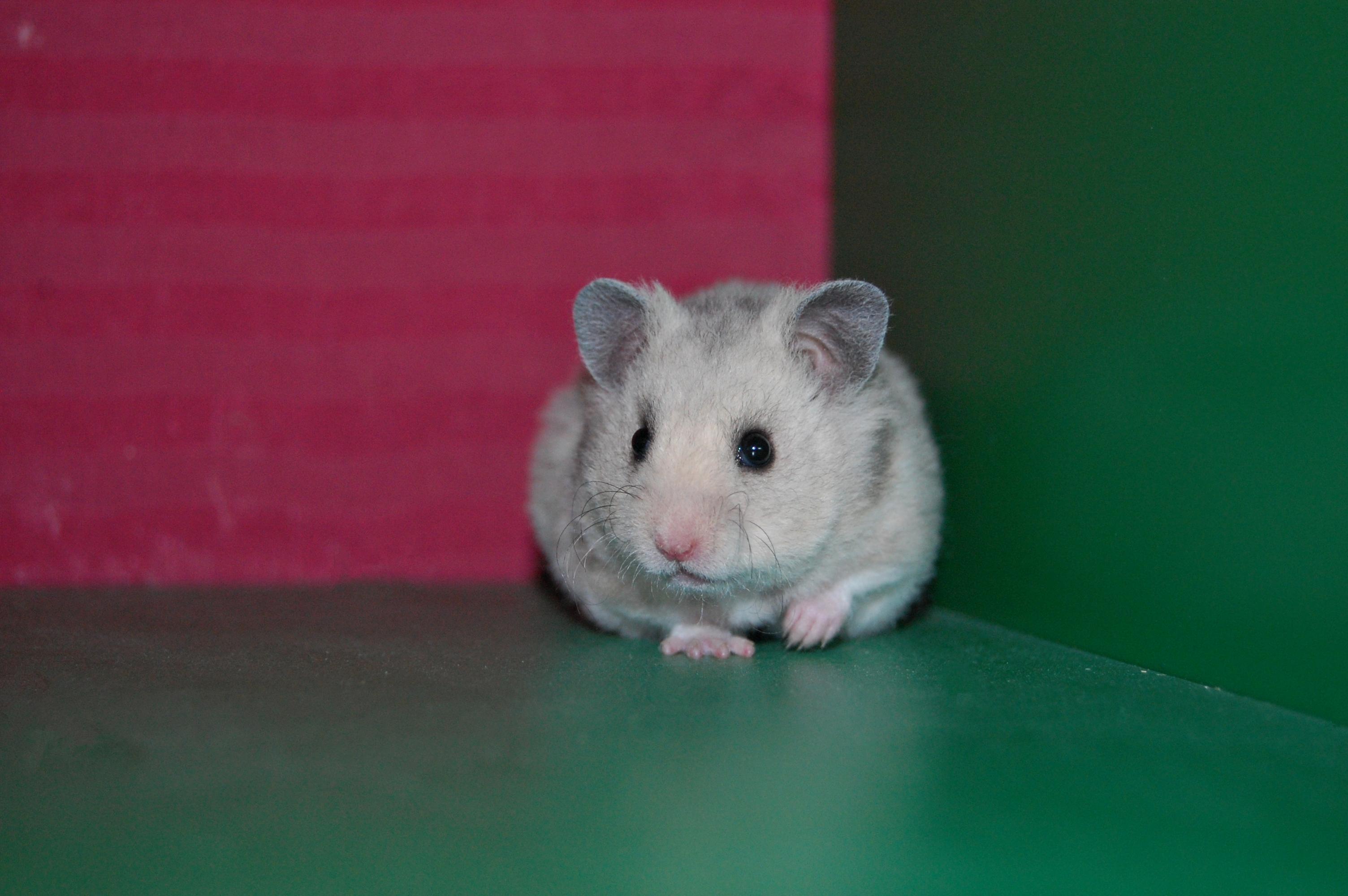 hamster kort hår